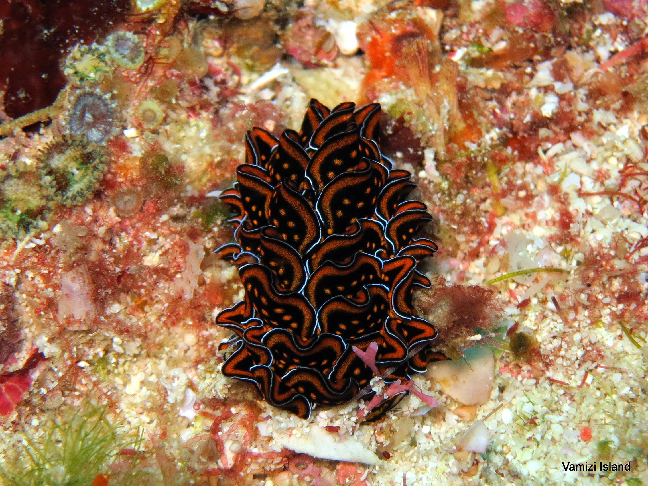 Vamizi_IndianOcean_sea slugs